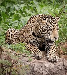 jaguar information for jaguar fast facts seethewild wildlife conservation travel