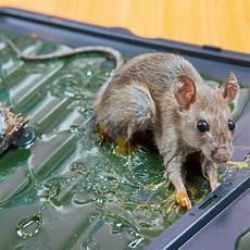 Comment Se D 233 Barrasser Des Rats Ooreka