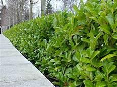 10 Cherry Laurel Evergreen Hedge Plants 30 45cm In Pots Ebay