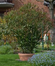 oleander pflege und schnitt schnitt pflege oleander rosenparadies loccum
