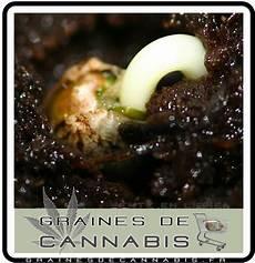 terre pour faire pousser cannabis la germination