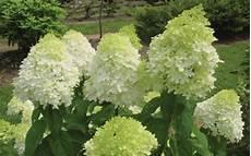 Buy Limelight Hydrangea Hydrangea Paniculata Limelight