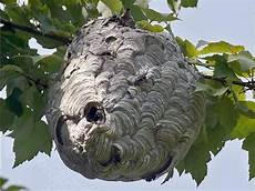 Wasp Bees Nest Removal Honeybee Centre