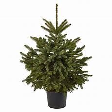Blaue Stechfichte Picea Pungens Glauca Im Topf Gedr 252 Ckt