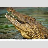 Krokodil Stockf...