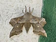 nachtfalter in deutschland riesiger falter wie hei 223 t er tiere insekten motten