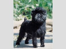 Affenpinscher Breed Information: History, Health, Pictures