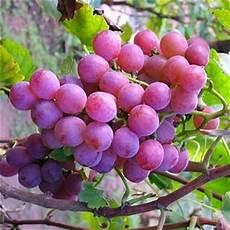 Gambar Buah Anggur Segar Aku Buah Sehat
