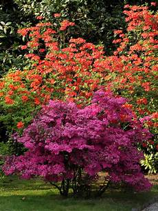 fiori azalee arbusti da fiore dell azalea immagine stock immagine di