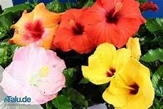 Hibiskus Pflege Zimmerpflanze - zimmerhibiskus die beste pflege als zimmerpflanze talu de
