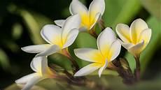 White Flowers Hd Images by Plumeria Flowers Lovely Yellow White Flower Desktop