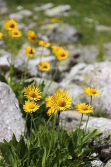 gio fiore doronico di clusius il fiore 232 molto simile all