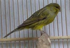 Berbagai Macam Gambar Burung Kicau Burung Kicau Nusantara