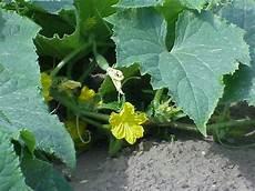 Gurke Gelbe Blätter - gurken