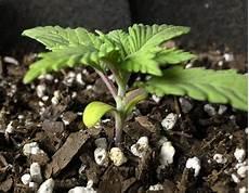 hanf keimling pflege schutz der jungen cannabis