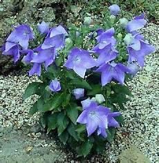 Winterharte Blaue Baiionblume Intensives Bl 252 Ten Blau Ebay