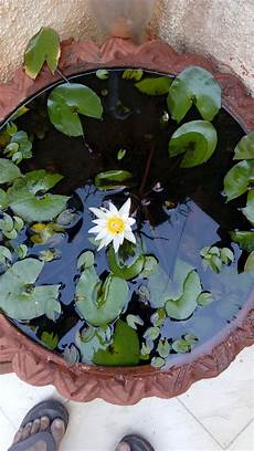 how to grow lotus from seed day 3 ways to grow lotus flower wikihow