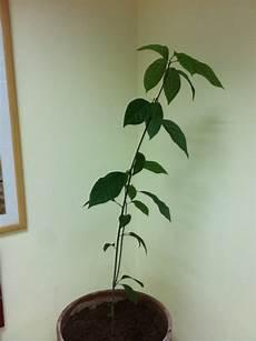 Avocado Pflanze Schneiden - houseplants advanced care of an indoor avocado plant