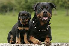 rottweiler partner hund magazin