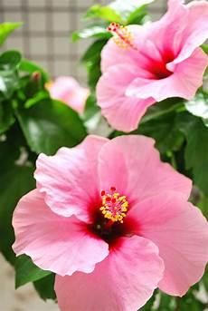hibiskus hibiscus rosa sinensis hybriden 187 pflege