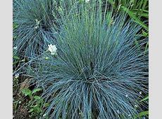 Ornamental Grass: Festuca glauca 'Elijah Blue