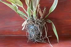 Vertrocknete Pflanzen Retten - orchideen erfolgreich retten tipps f 252 r erste hilfe