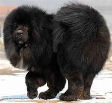 Tibetan Mastiff Breed Information And Images K9