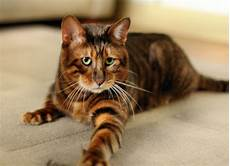 cat breed five cat breeds for the yuppie associate attorney greedy