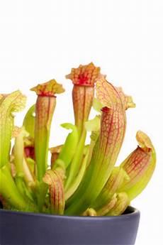 Fleischfressende Pflanzen Pflege Karnivoren