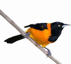 dibujo turpial graphisme vectoriel turpial national des oiseaux du venezuela psd gratuit vectorhq com