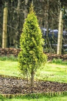 thuja hecke pflanzen und pflegen hilfreiche gartentipps