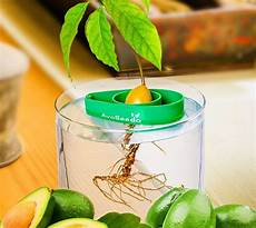 avoseedo lets you grow your own avocado tree