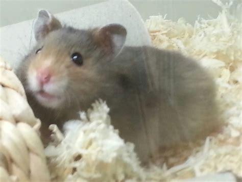Hamster Salu