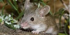 Was Essen Mäuse In Der Natur - was fressen m 228 usen was fressen