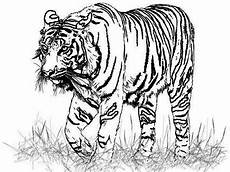 tiger drawing at getdrawings com free for personal use tiger drawing of your choice
