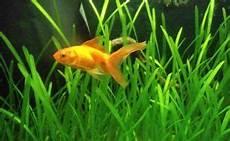 goldfische mit pflanzen im aquarium aquarium fische und