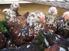 Orloff Orloff - breed savers russian orloffs