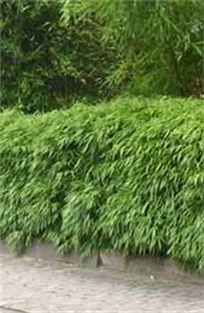 Bambus Lexikon Bambushecken Als Sichtschutz