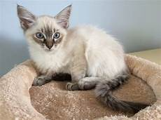 ragdoll mix ragdoll birman x siamese kitten boston