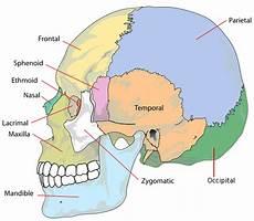 Jenis Jenis Tulang Tengkorak Pada Manusia Biologi