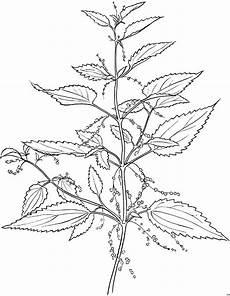 Malvorlagen Urwald Name Skizzierte Pflanze Ausmalbild Malvorlage Blumen