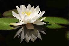 flower wallpaper come white lotus flower flower hd wallpapers images