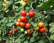 tomaten in k 252 bel pflanzen tomatenpflanzen im k 252 bel