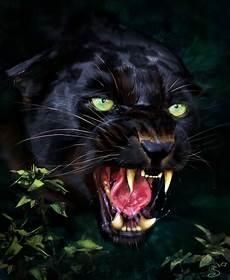 Jaguar Predator Black Animal Muzzle Wallpaper