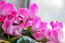zimmerpflanzen für dunkle räume bl 252 hende zimmerpflanzen 10 bl 252 hfreudige pflanzen f 252 r zuhause plantura