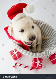 merry christmas portrait of cute labrador puppy in santa