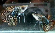 Gambar Ikan Guppy Ikan Hiasku