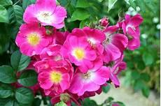 rosier liane sans epine rosiers sans 233 pine rosa american pillar roseraie guillot