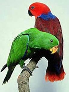 Burung Bayan Eclectus Roratus Konservasi Alam