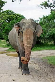 Malvorlage Indischer Elefant Indischer Elefant